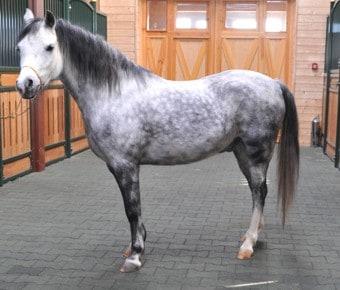 LEONARDO Уэльский пони